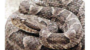 Reptil. La yarará se caracteriza por su poder venenoso.