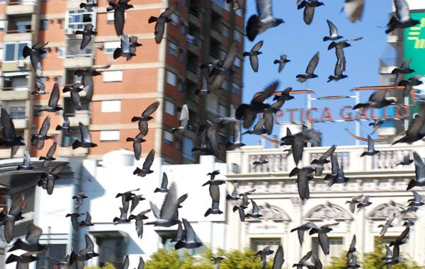 """En los últimos tres años el crecimiento de la cantidad de palomas """"es exponencial"""". (Foto: S. Toriggino)"""