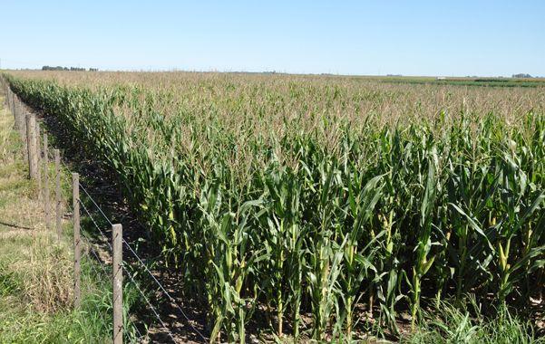 Las decisiones de inversión para la próxima campaña de maíz están demoradas.