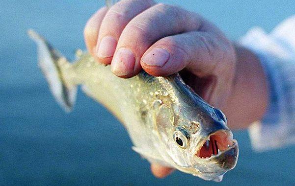 Dientes filosos. Las palometas son peces carnívoros muy agresivos.