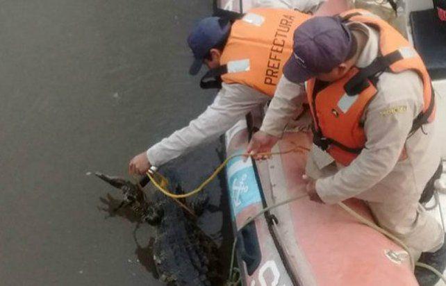 El ejemplar fue rescatado por personal de Prefectura e integrantes del Proyecto Yacaré.