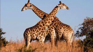 Los científicos descubrieron el secreto de cómo se alargó el cuello de la jirafa