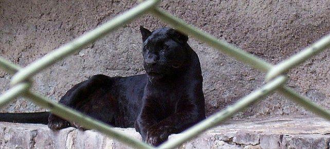 Murió de vieja la pantera de Mendoza