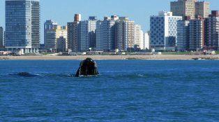 Bienvenidas. Las ballenas pasan a pocos metros de las playas de Miramar.