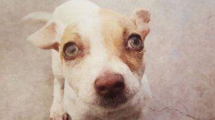 El pequeño Bubba era drogado por sus dueños y hoy está mejorando y esperando una familia que lo adopte.