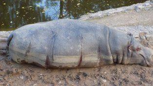 Extraño. La hembra de hipopótamo que apareció con varias heridas.