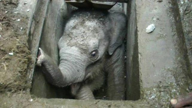 El elefante bebé fue rescatado por trabajadores y funcionarios del lugar.