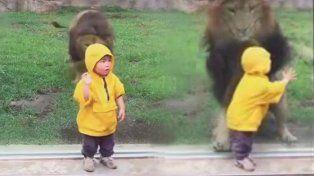 Un vidrio  salvó a un nene de ser atacado por un enfurecido león