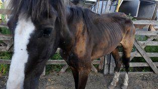 Secuestrado. Uno de los animales que participaba de una competencia en Avellaneda al 4300.
