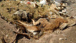 Preocupante. Unos 300 animales perecieron en 2015 y unos 70 en 2016.