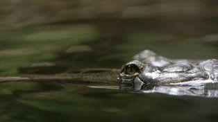 El caimán arrastró al nene por el lago.