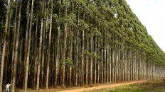 La especie elegida. El plan de forestación contempla la plantación de eucaliptus para la explotación de la madera. Los terrenos son de la provincia.