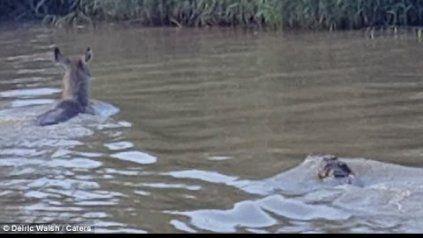 Un antílope escapa de milagro de un cocodrilo