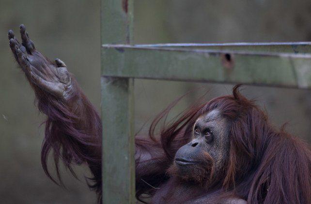 Símbolo. La orangutana está enferma de tuberculosis.