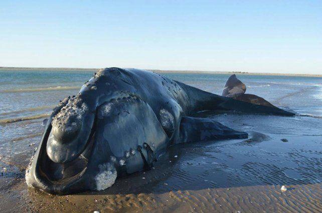 El animal murió luego de pasar varios días encallado en Río Negro.