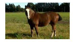 El caballo fue robado la madrugada del 27 de junio pasado.