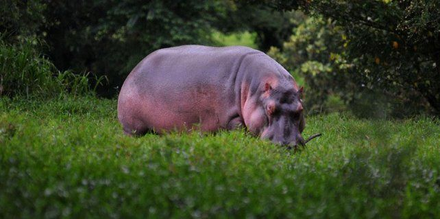 hipopótamos. Hoy suman 35 ejemplares