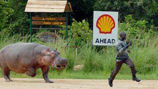 Preocupación en Colombia por los hipopótamos del narcotraficante Pablo Escobar