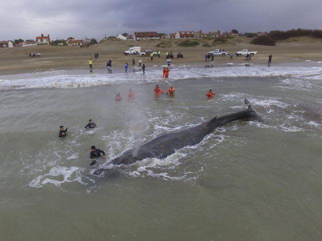 Penoso. Expertos trataron de girar al rorcual para devolverlo a mar abierto.