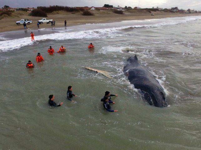 Tras horas de trabajo, rescataron a la ballena que había encallado en Mar del Tuyú