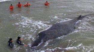 Penoso. El ejemplar de ballena jorobada encalló en la costa. Para liberarla