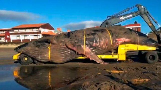 Así trasladaron a la ballena jorobada que murió en Mar del Tuyú