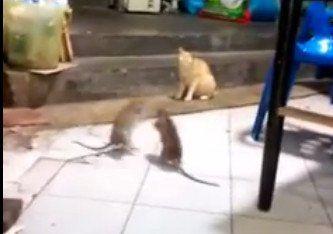 El video viral que muestra cómo dos ratas combaten en dos patas ante la atónita mirada de un gato