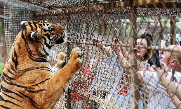 Tigres siberianos. La tragedia ocurrió el sábado en el Parque Zoológico Beijing Badalin Wildlife