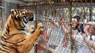 Tigres siberianos. La tragedia ocurrió el sábado en el Parque Zoológico Beijing Badalin Wildlife, en Pekín.