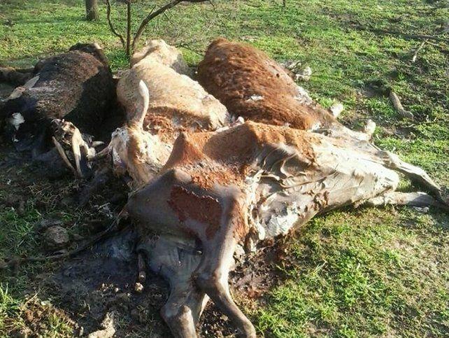 Vecinos de Arroyo Seco denuncian las misteriosas muertes de animales en un campo