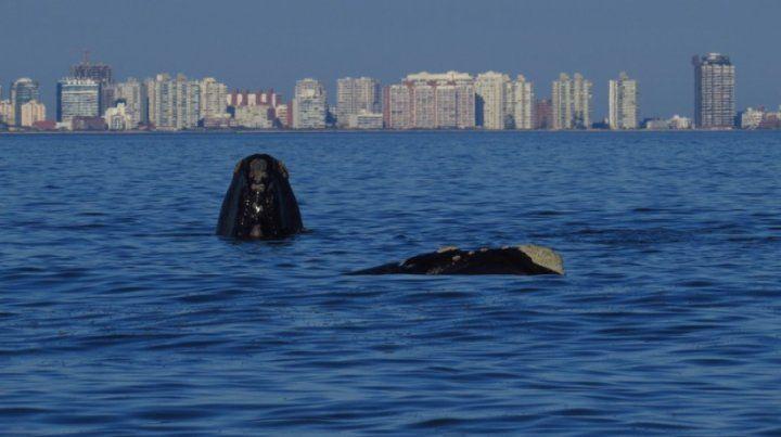 El avistamiento de ballenas, una actividad que cada vez concita más atención en Uruguay