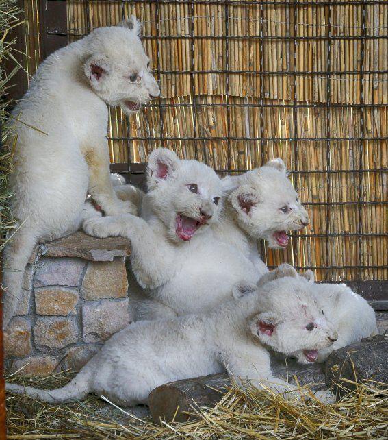 La mayoría de losleones blancosvivenen cautiverio.