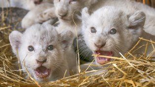 Las tiernas imágenes de cinco cachorros de león blanco que nacieron en cautiverio