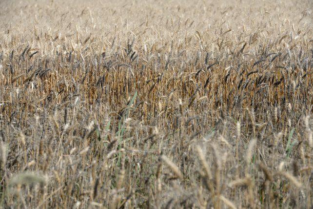 Avance. El buen clima aceleró la siembra del cereal fino.