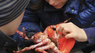 Escasas. Una especialista del Conicet examina una centolla sureña.