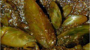Depredador. El mejillón dorado se detectó en el Paraná en 1996.