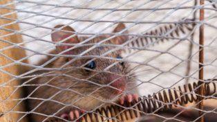 Fueron tantas horas las que el personal dedicó a atrapar al roedor que al final hubo que suspender el vuelo. (Foto Archivo)