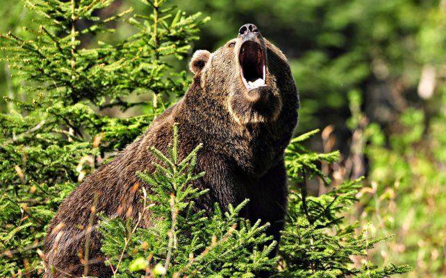 El oso negro atacó y le provocó heridas al pescador que se saló gracias a sus conocimientos en artes marciales.
