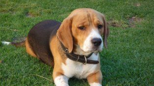 Defensoras de animales afirman que 400 laboratorios en Estados Unidos utilizan 70.000 perros por año