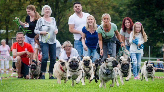 La carrera entre Pugs y Bulldogs que animan una tradicional fiesta en Alemania