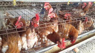 La comuna de Carreras entregó hoy 1.200 gallinas ponedoras entre los vecinos carecientes.