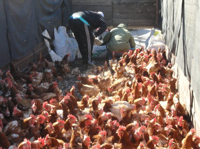 El traslado. Los animales fueron llevados hasta el frente de la comuna en un acoplado de campo.