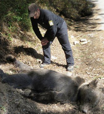 asturias. El oso asesinado.