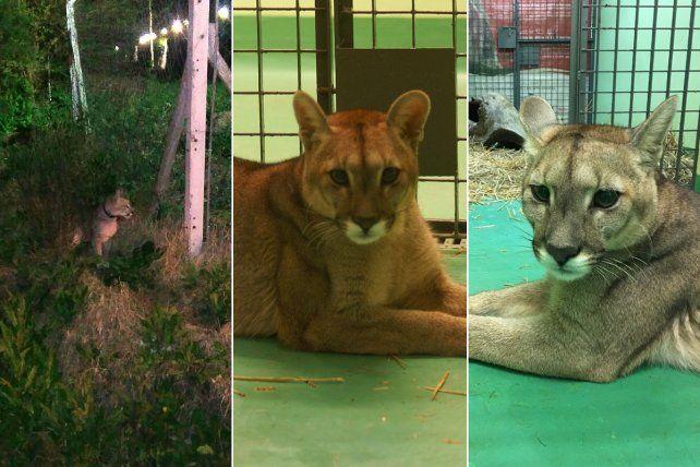 Rescataron a un puma que era mantenido como mascota en forma ilegal