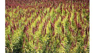 Quinoa. La demanda de este cultivo prehispánico está en crecimiento. Investigadores destacan su potencial nutracéutico.