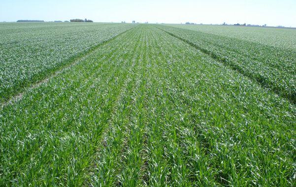 En campaña. La saturación de humedad complica la siembra de trigo.