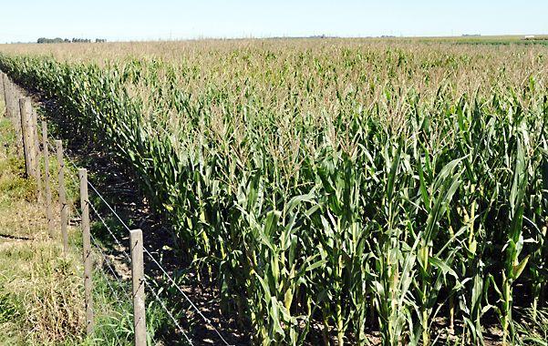 Al borde. Los cambios climáticos tienen en vilo a la producción maicera.