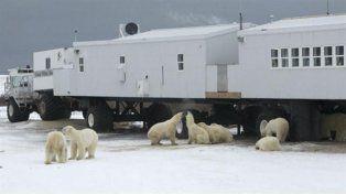 Una familia de osos polares tiene sitiados desde hace dos semanas a un grupo de científicos en el Artico.