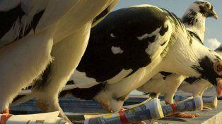 Las palomas continúan siendo un gran método de envío de mensajes en la actualidad.