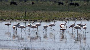 Aquerenciados. Los flamencos vuelan 900 kilómetros desde la Puna para pasar el invierno en las lagunas.